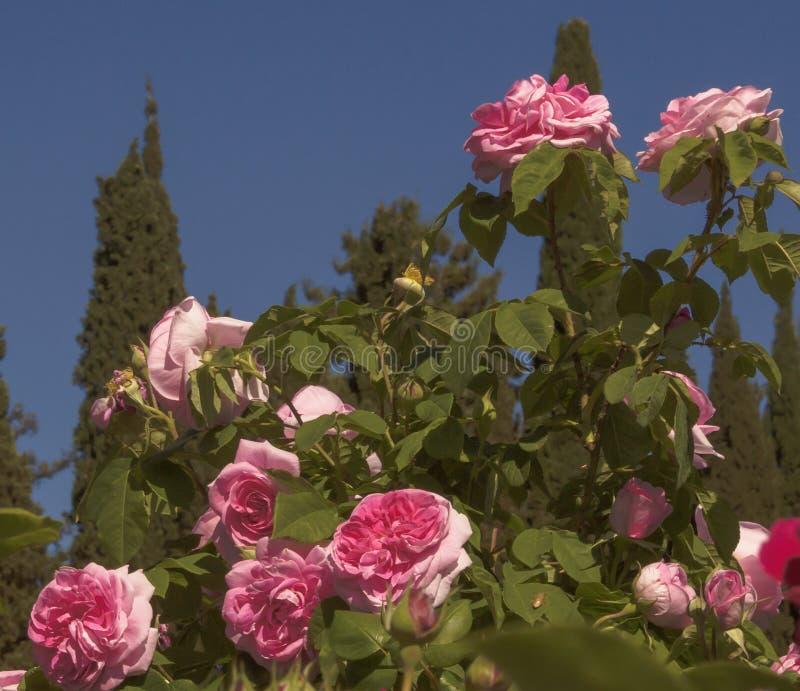 Bush grande con las flores fragantes de rosas rosadas en un fondo de los tops del cielo azul y del ciprés fotografía de archivo
