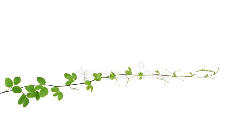 Bush grape or threeleaf cayratia Cayratia trifolia wild climbi royalty free stock photo
