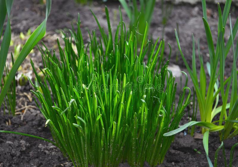 Bush green grass. Spring grass. A bush of green grass. Spring grass in saturated light royalty free stock image