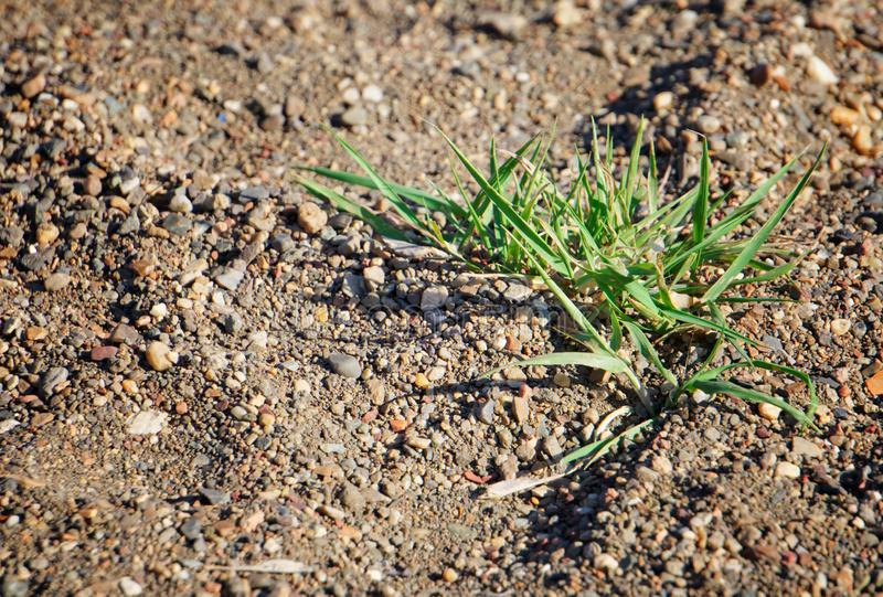 A bush of green grass under the hot sun among the sand and stones. Possible effects of global warming stock photo