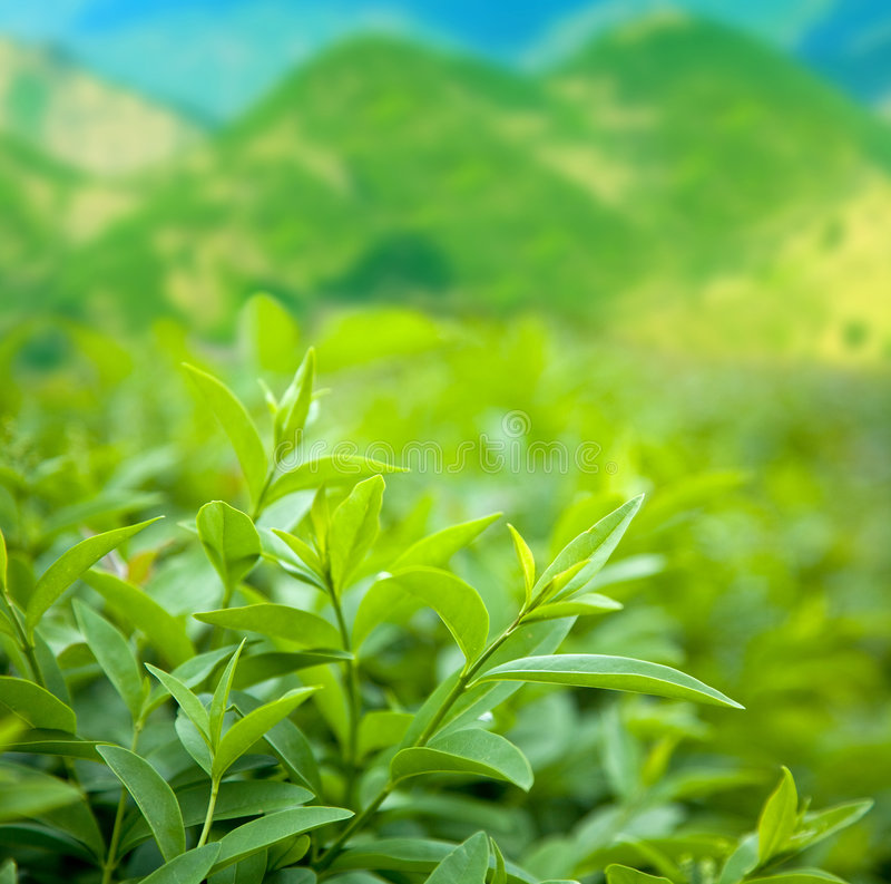 Bush of green tea royalty free stock image