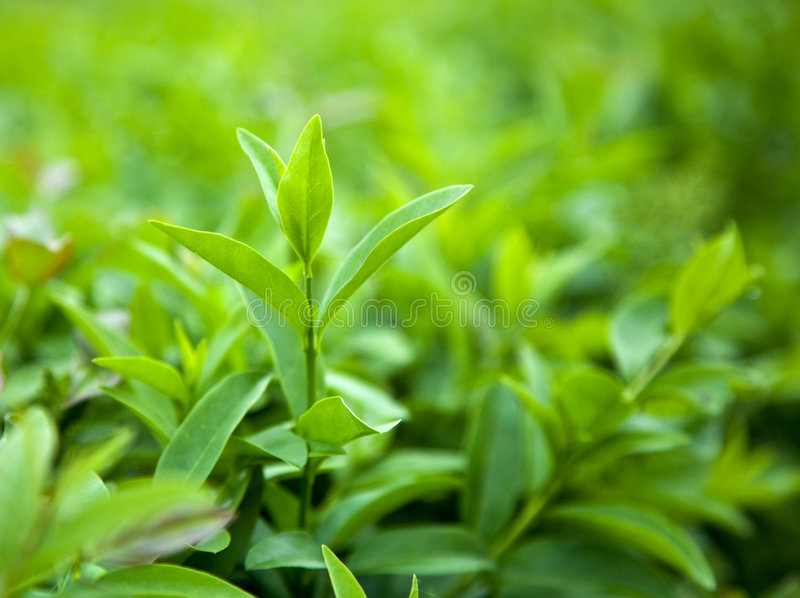 Bush of green tea royalty free stock photo