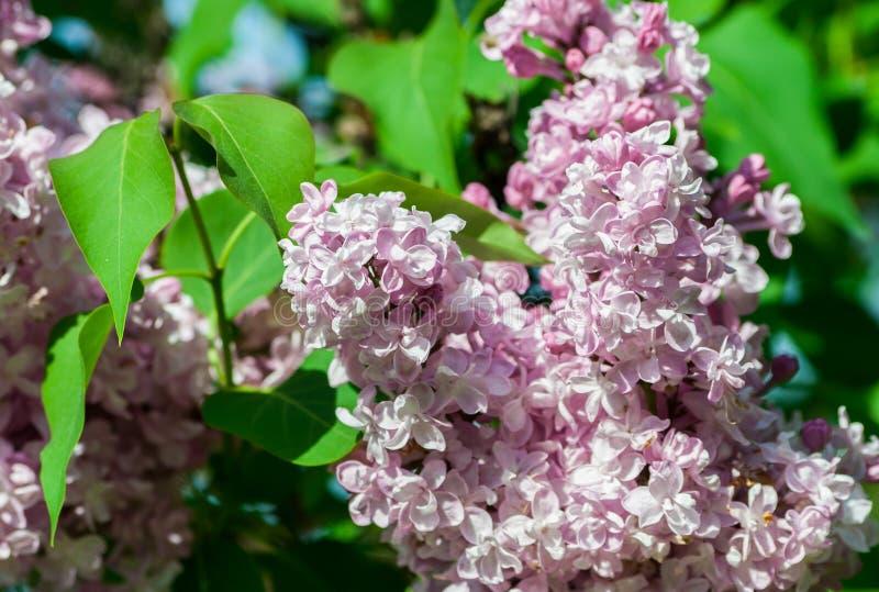Bush heller weißer und rosa Terry-Flieder, eine Gruppe von Blumen in voller Blüte stockbilder