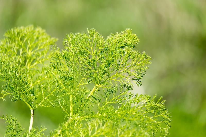 Bush herb in nature stock images