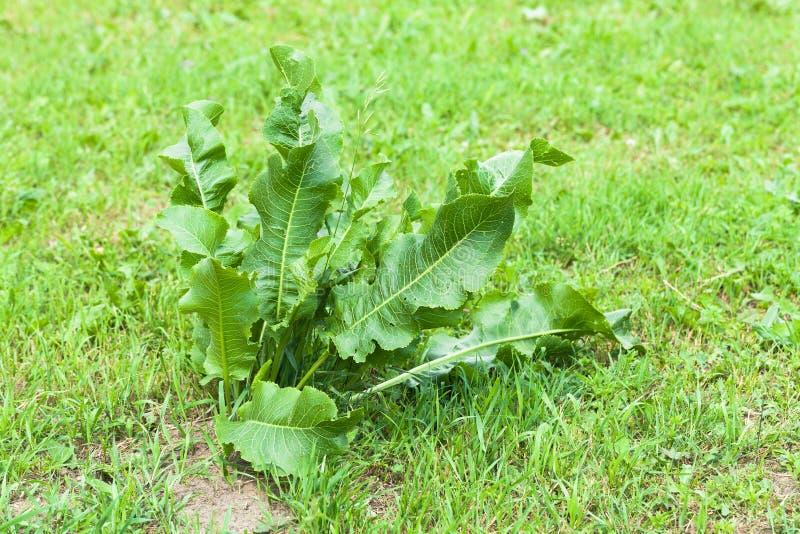 Bush horseradish w ogródzie Armoracia rusticana zdjęcia royalty free