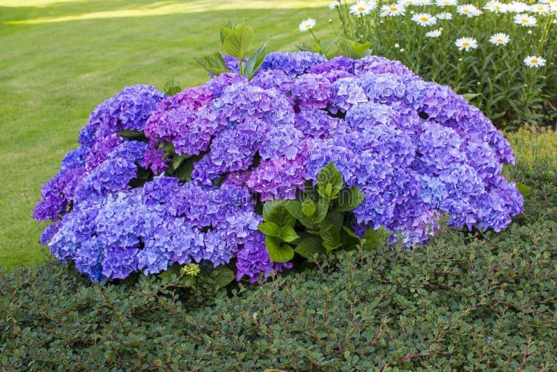 Bush Hortensia kwiaty zdjęcie royalty free