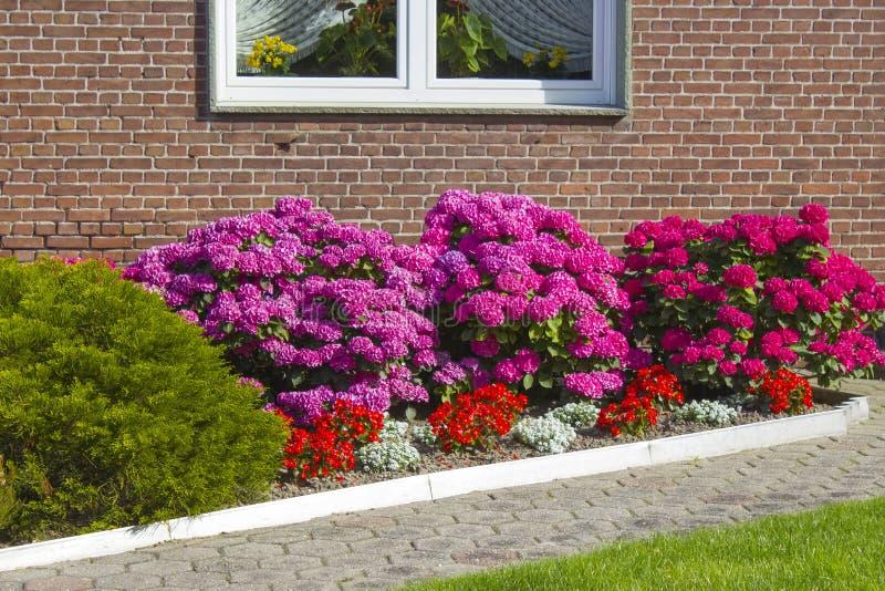 Bush Hortensia kwiaty zdjęcie stock