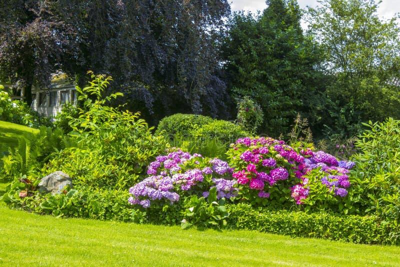 Bush Hortensia kwitnie w ogródzie zdjęcia stock