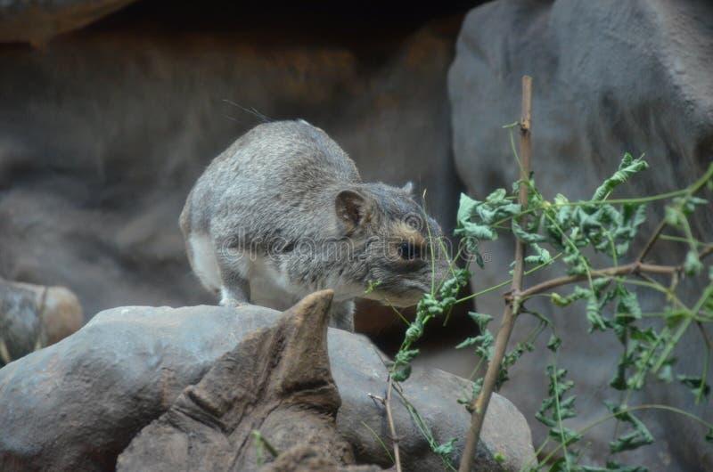 Bush hyrax of geel-Bevlekte rots dassie, Heterohyrax-brucei royalty-vrije stock foto's