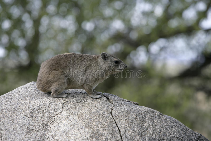 Bush hyrax of geel-Bevlekte rots dassie, Heterohyrax-brucei royalty-vrije stock foto