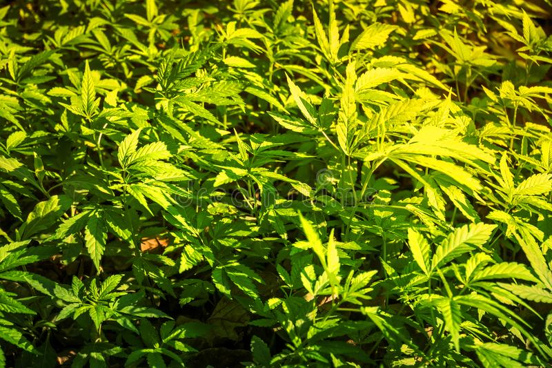 Bush Kwiatonośny zielarski konopie z ziarnami i kwiatami obrazy stock