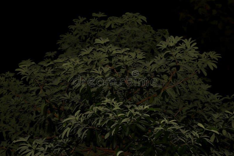 Bush lascia la grande scena di notte dell'albero, foglie, albero, foresta su buio nero di notte del fondo immagine stock