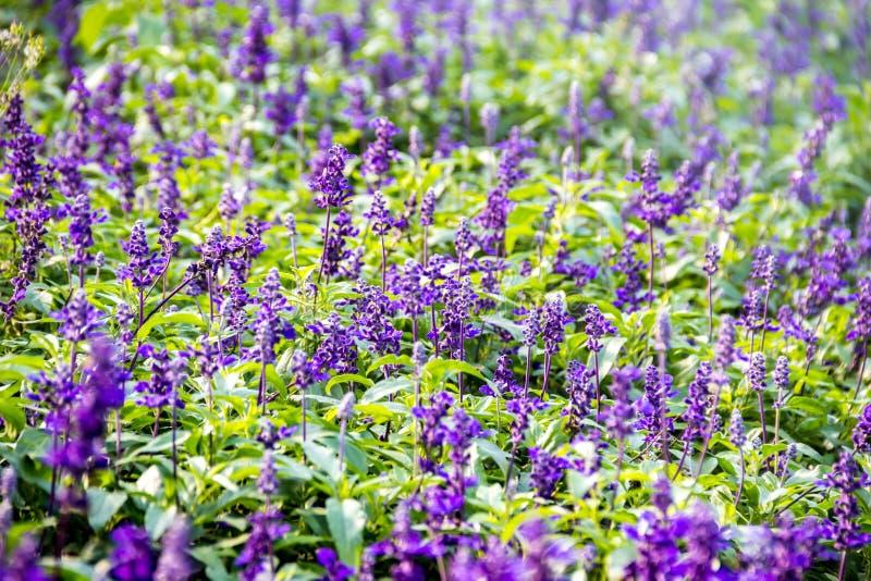 Bush lavandula pola kwiat zdjęcia royalty free
