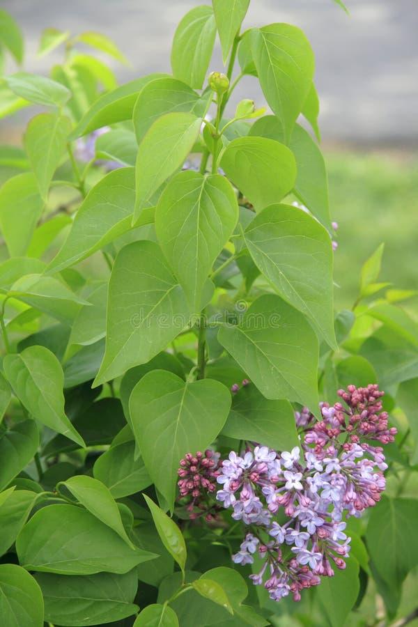 Download Bush lilas image stock. Image du centrale, pourpré, jardinage - 732651