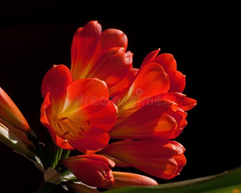 Bush lilja, closeup för Clivia miniatablomma royaltyfri foto