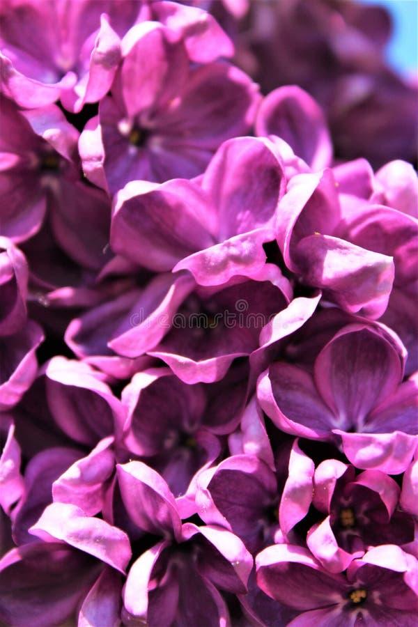 Bush lilla, siringa vulgaris, è sbocciato con i fiori vibranti fotografie stock