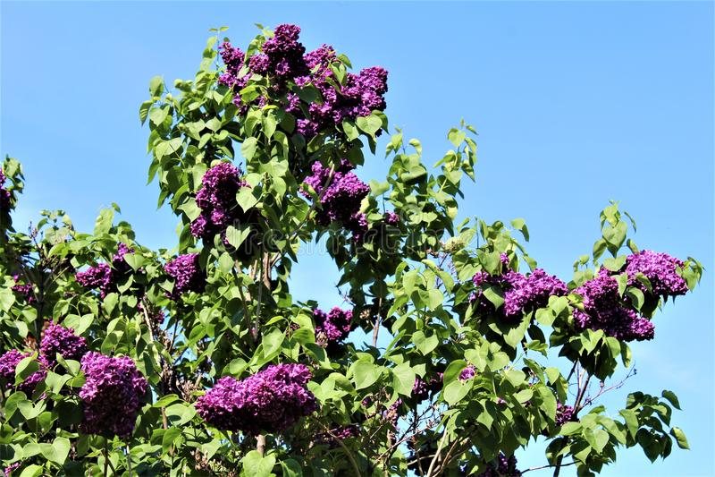 Bush lilla, siringa vulgaris, è sbocciato con i fiori vibranti fotografia stock