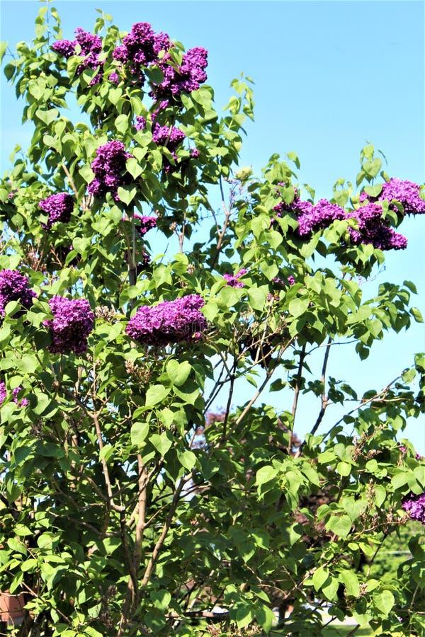 Bush lilla, siringa vulgaris, è sbocciato con i fiori vibranti immagini stock
