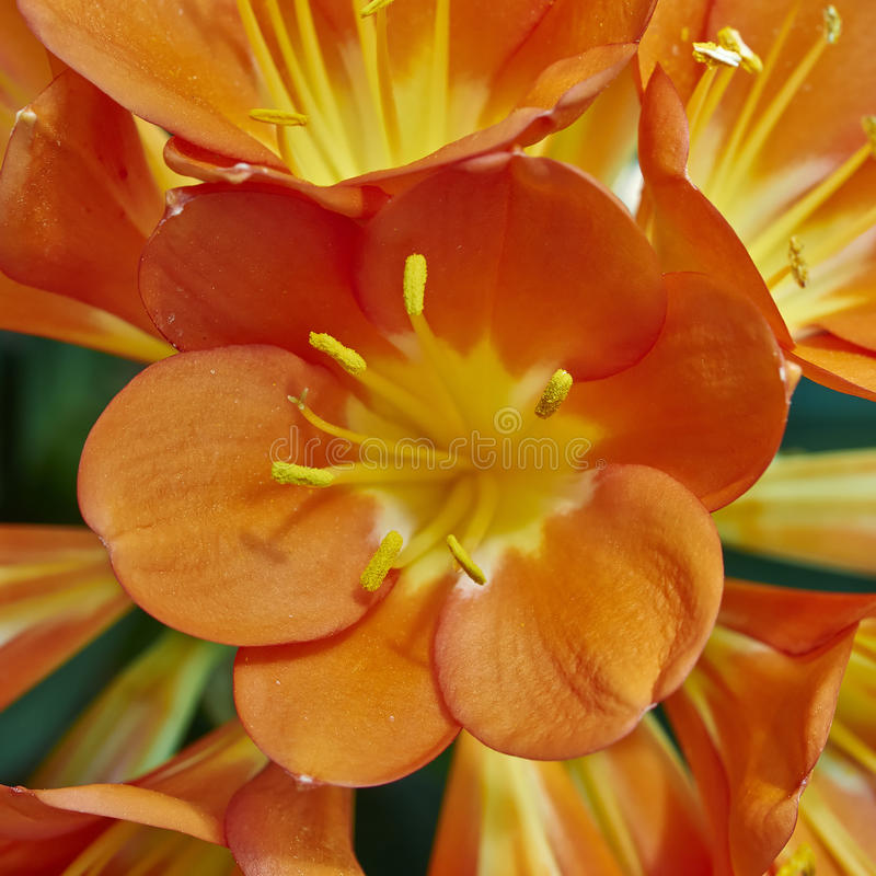 Bush lily (Clivia miniata) flower closeup stock image