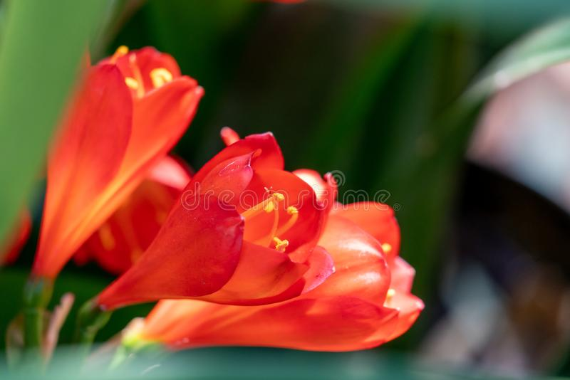 Bush Lily Clivia miniata flower royalty free stock photography