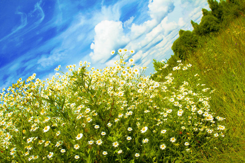 Download Bush Of The Little Daisies. Stock Photo - Image: 27398788