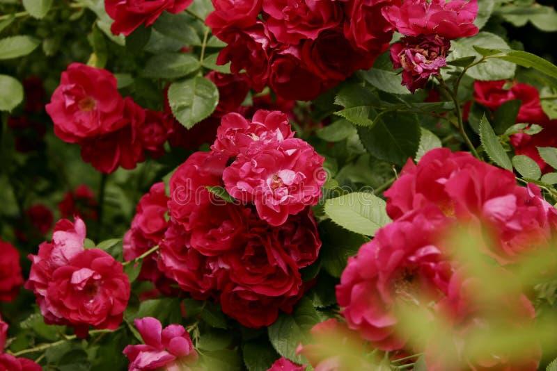 Bush ljusa rosa trädgårdrosor Rosa färgen blommar på en bakgrund av gröna sidor Copyspace bakgrund, närbild arkivfoton
