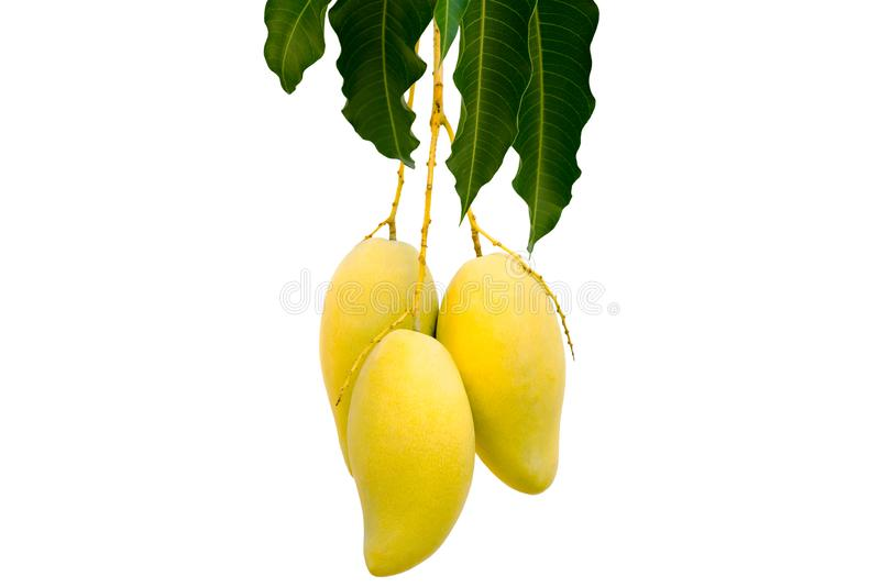 "The bush mango tree - Barracuda or `Nam Dok Mai""  and its ripe yellow fruits. The bush mango tree - Barracuda or `Nam Dok Mai""  and its ripe yellow royalty free stock photos"