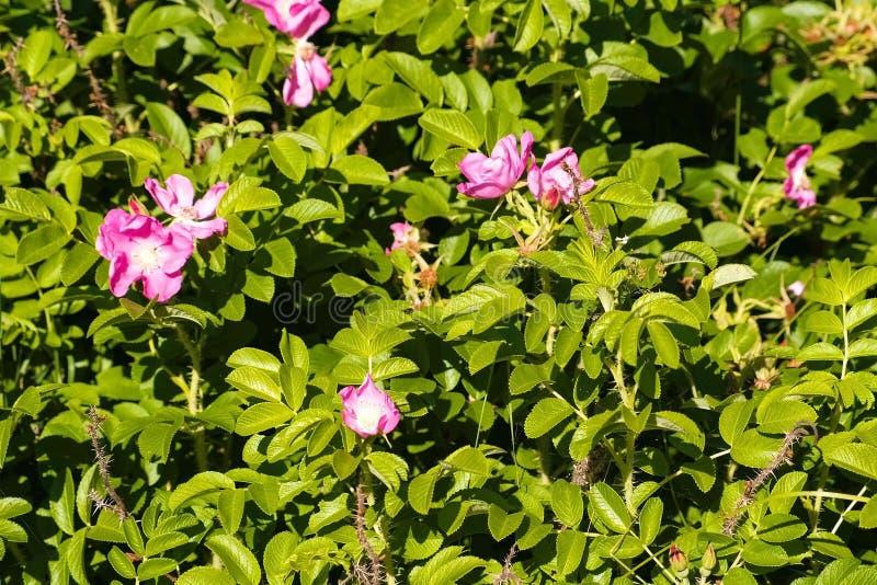 Bush med härliga rosa blommor av löst steg Närbild arkivfoto