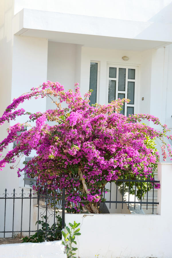 Bush med ljusa purpurfärgade blommor royaltyfria bilder