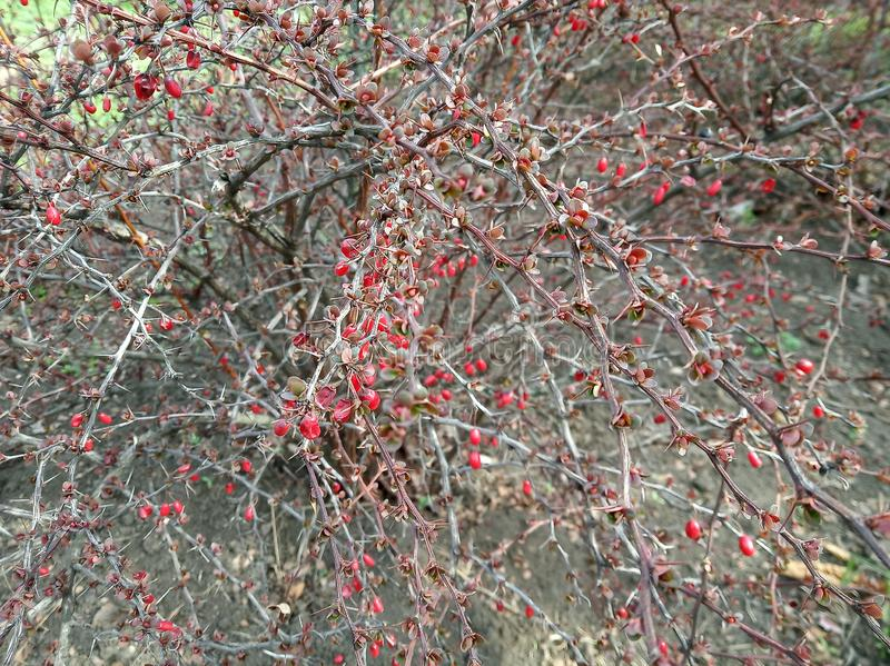 Bush med röda bär och utan leafes på soligt väder royaltyfria bilder