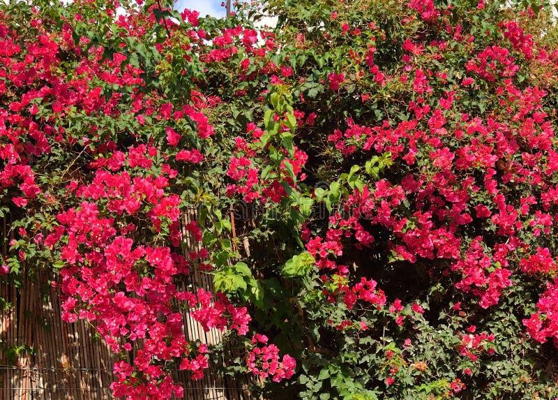 Bush med röda blommor royaltyfri bild