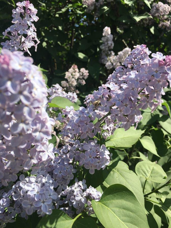 Bush med vita blommor i trädgården i dagen royaltyfria bilder