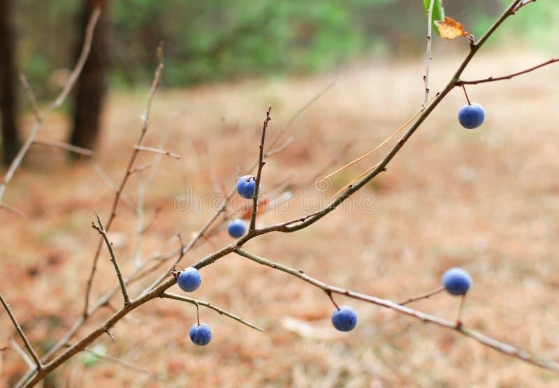 Bush met blauwe bessen van doornen in het bos stock foto's