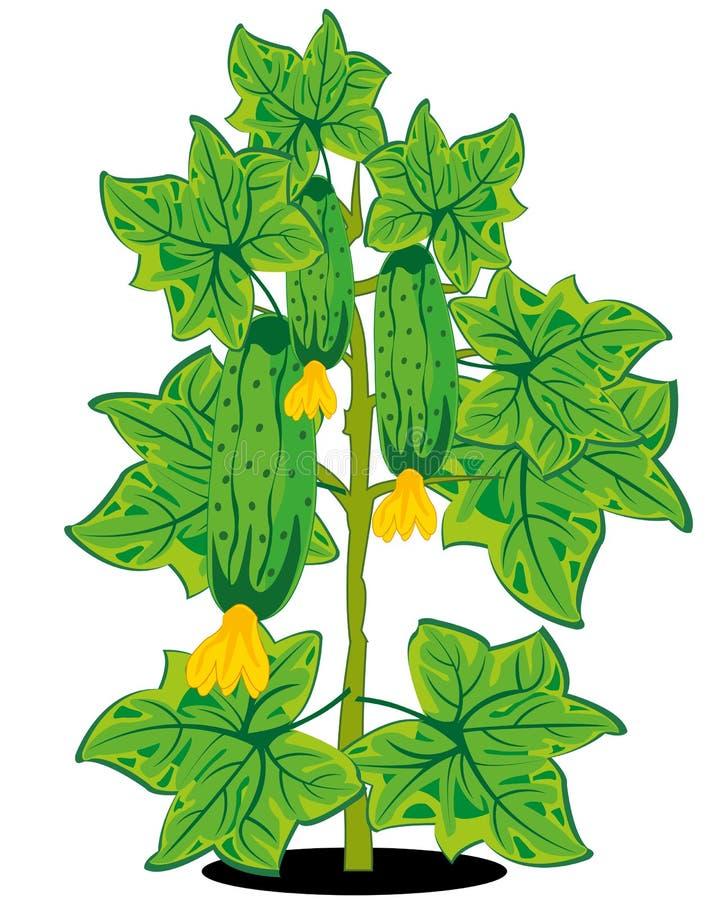 Bush met komkommer op witte achtergrond is geïsoleerd royalty-vrije illustratie