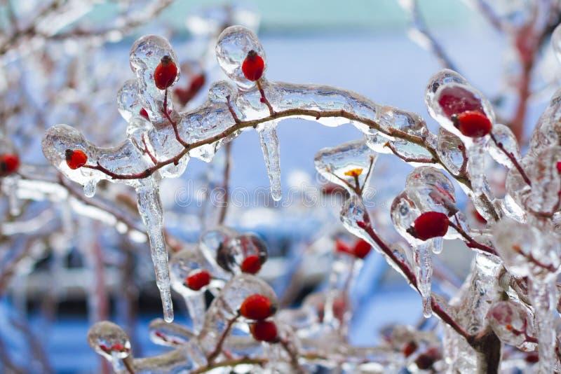 Bush met rode bessen in het ijs stock foto