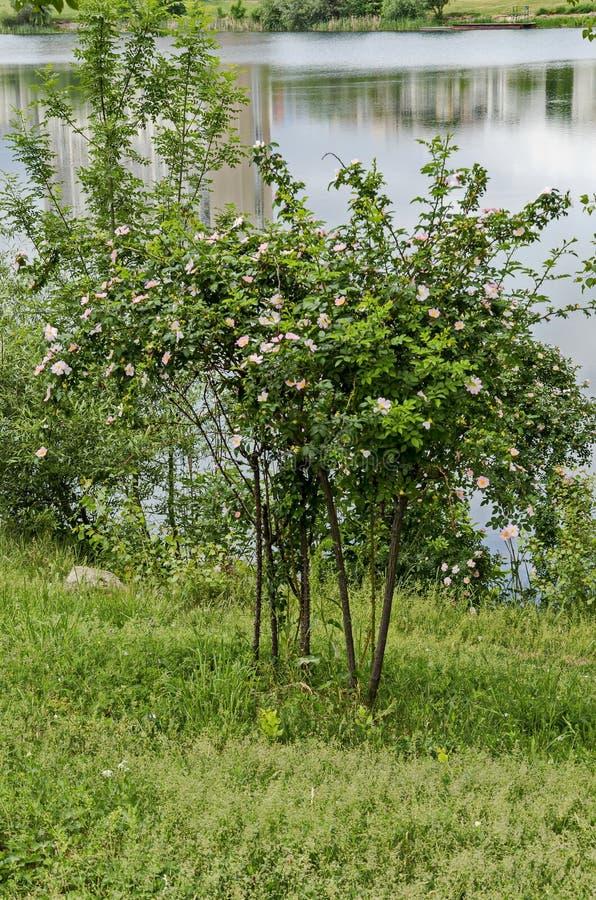 Bush mit neuer Blüte der wilden Rose, des Brier oder des Rosa-canina Blume im Garten lizenzfreies stockbild