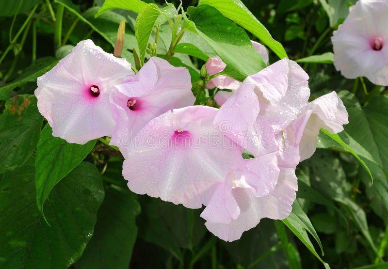 The Bush Morning Glory Flower Stock Photography