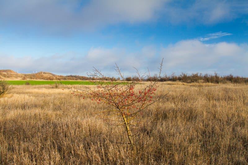 Bush mountain ash. In the Tavri steppe in the Zaporozhye region. Ukraine. January 2018 stock photography