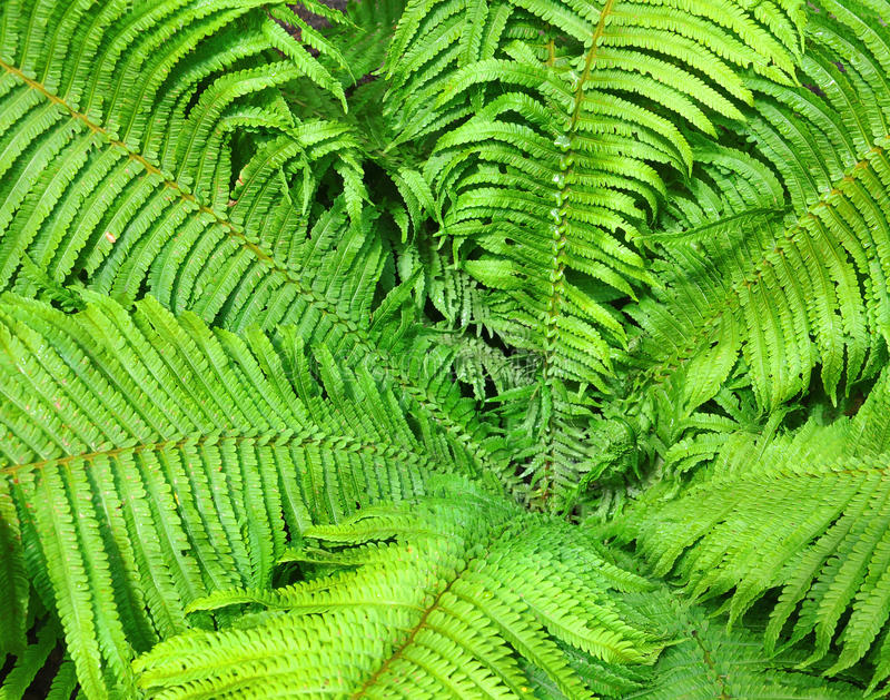 Download Bush paproć zdjęcie stock. Obraz złożonej z piękno, ziemia - 53784056