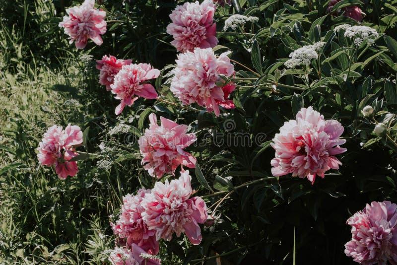Bush piękne różowe peonie na tle zielona trawa R??owi i biali kwiaty w ogr?dzie Peonie r w trawie zdjęcie stock