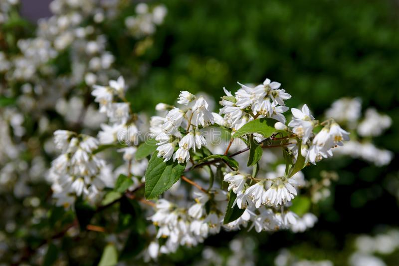 Bush piękni biali kwiaty obrazy stock