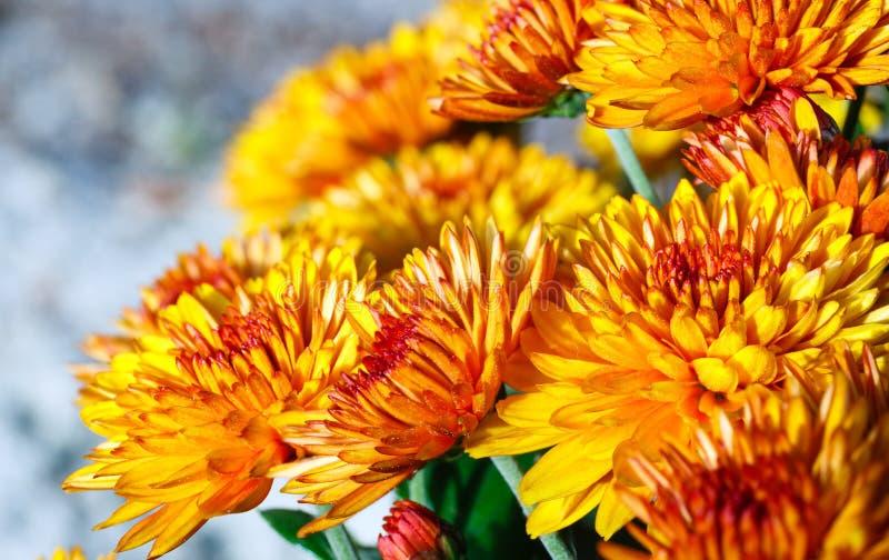 Pomarańczowy jesieni chryzantem krzak fotografia stock