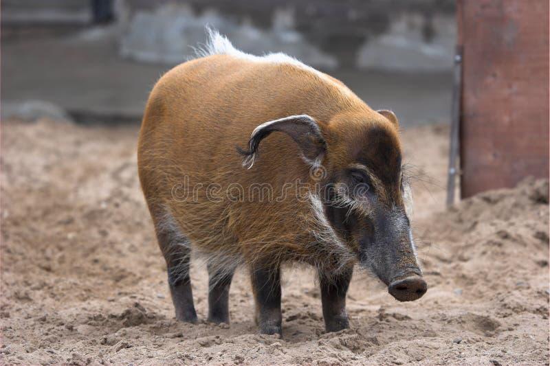 Bush pig stock image