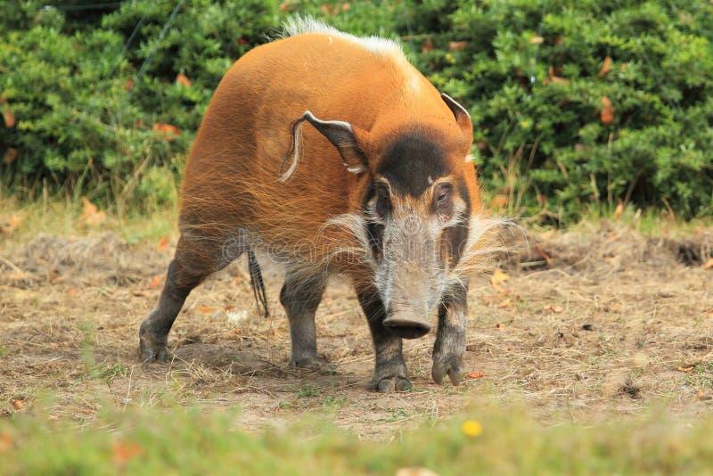 Download Bush pig stock photo. Image of bush, animal, grass, adult - 28741414