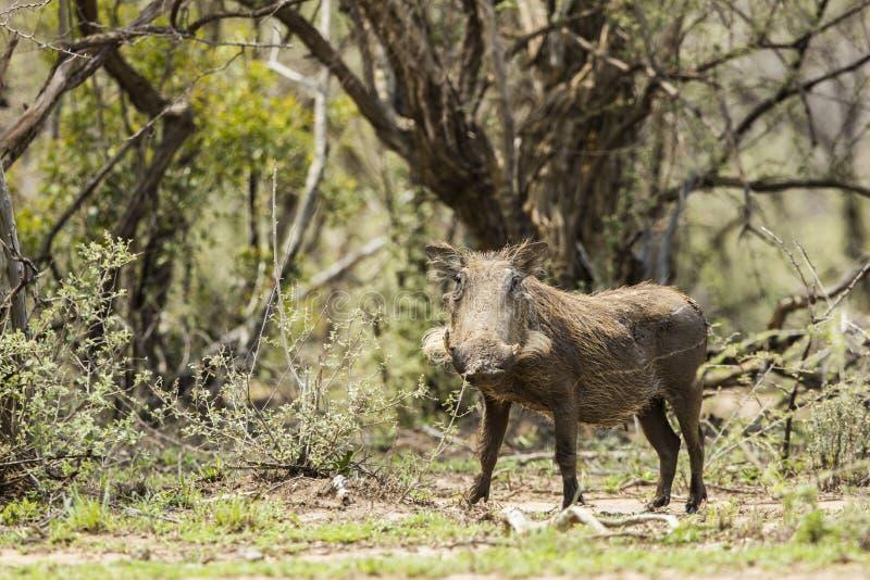 Bush Pig. A bush pig making its way to water royalty free stock photo