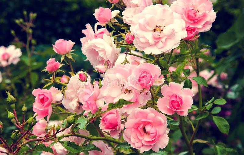 Bush of pink garden roses with green leaves stock images