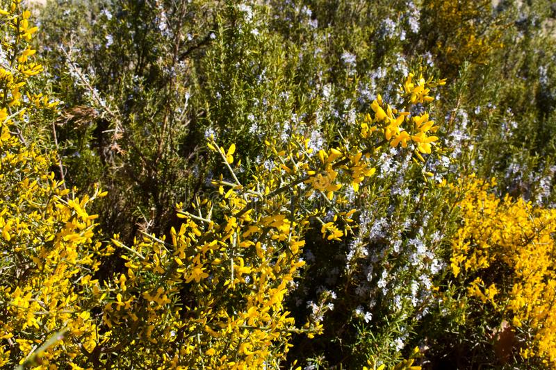 bush plant with yellow flowers and thorns called aliaga, genista scorpius in latin, in front of some bushes called rosemary with stock photo