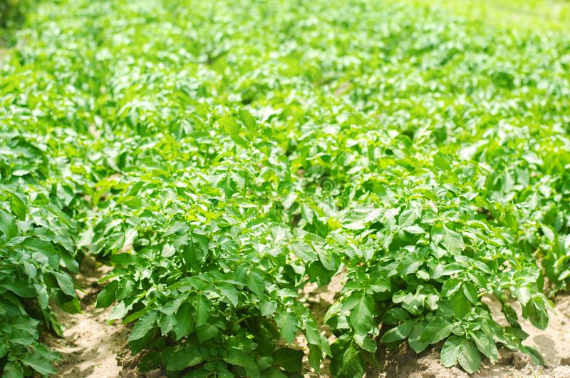 Bush plant of young potato growing in the field, farming, agriculture, vegetables, eco-friendly agricultural products, agroindustr stock photo