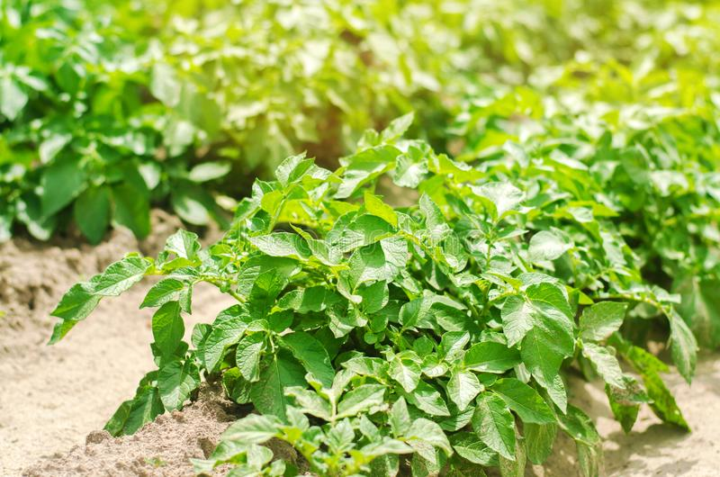 Bush plant of young potato growing in the field, farming, agriculture, vegetables, eco-friendly agricultural products, agroindustr stock photos