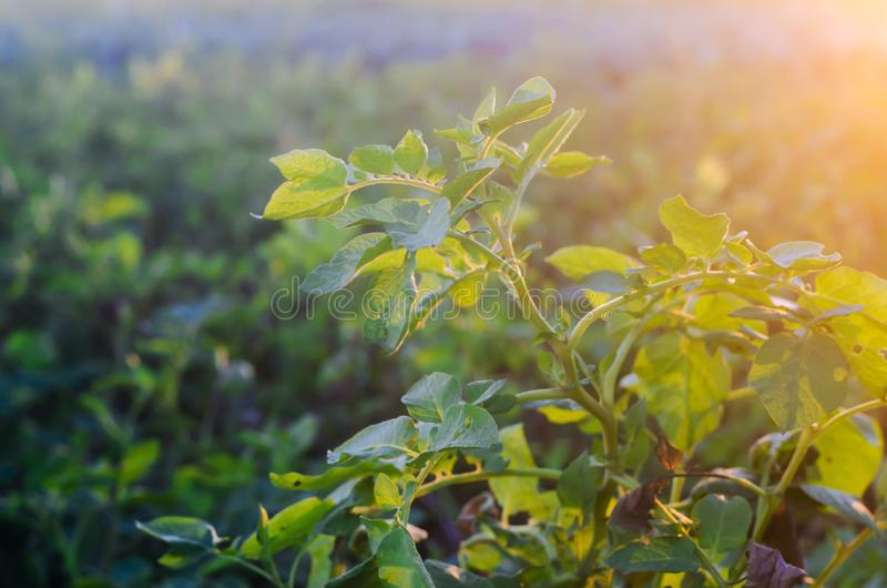 Bush plant of young potato growing in the field, farming, agriculture, vegetables, eco-friendly agricultural products, agroindustr royalty free stock photos